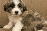 Picture of mini bernadoodle male  puppy