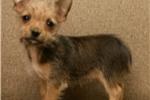 Picture of mini chorkie female  puppy