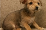 Picture of mini chorkie male  puppy
