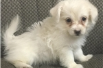 Picture of Chorkie Chihuahua Yorkie puppy male