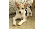 Picture of Toy Fox Terrier mix puppy male