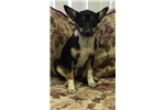 Picture of Toy Fox Terrier mix puppy female