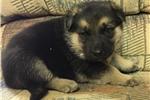 Picture of german shepherd male  puppy  BIG!