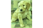 Picture of standard goldendoodle female golden puppy