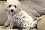 Picture of mini goldendoodle puppy  male