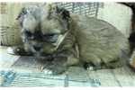 Picture of mini morkie male  puppy