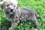 Picture of morkie puppy male