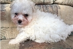 Picture of morkie puppy  male tiny