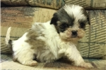 Picture of mini morkie female  puppy
