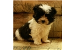 Picture of mini pekapoo puppy  female