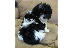 Picture of pekapoo puppy  male