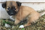 Picture of pomapoo puppy female tiny