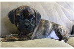 Picture of Puggle male puppy super friendly