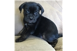 Picture of Puggle  puppy male super friendly