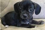 Picture of Puggle puppy female super friendly