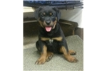 Picture of Rottweiler puppy female BIG