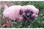 Shichon for