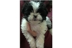 Picture of Shorkie puppy female