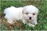 Picture of mini shorkie puppy  female