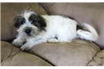 Picture of mini shorkie puppy  male