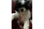 Picture of Shorkie puppy male