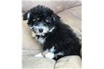 Picture of shorkie puppy male yorkie shih tzu