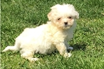 Picture of tiny morkie puppy female