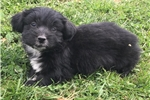 Picture of tiny morkie puppy male