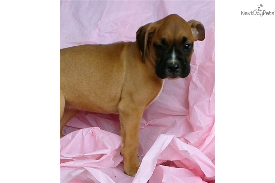 Boxer Dog For Sale In Maryland