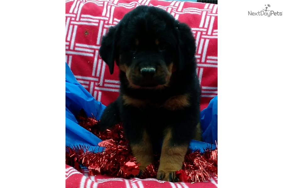 Roxette: Rottweiler puppy for sale near Baltimore ...