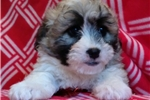 Picture of mini bernadoodle female non-shedding puppy