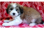 Picture of mini bernadoodle male non-shedding puppy