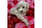 Picture of mini goldendoodle female non-shedding puppy GOLDEN