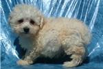 Picture of maltipoo maltese/poodle male non-shedding puppy