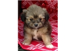 Picture of TINY morkie puppy female 8 weeks old