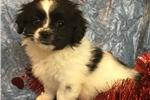 Picture of pekatese female puppy maltese/pekingese