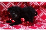 Picture of pomapoo puppy female black 8 weeks old