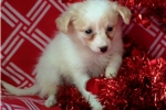 Picture of pomapoo puppy female ceam 8 weeks old