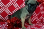 Picture of pug puppy female fawn with black mask 8 weeks old