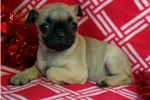 Picture of pug puppy male fawn with black mask 8 weeks old