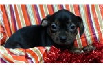 Picture of Puggle girl/female puppy super friendly!!