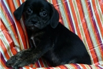 Picture of Puggle boy/male puppy super friendly!!