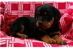 Picture of rottweiler female puppy maryland HUGE