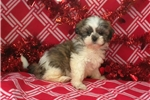 Picture of shih tzu puppy male brown and white 8 weeks old