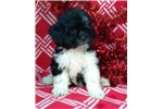 Picture of shih tzu puppy female black and white 8 weeks old