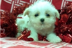 Picture of shorkie female nonshedding puppy maryland