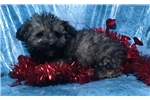 Picture of yorkipoo yorkie/poodle female non-shedding puppy