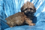 Picture of yorkipoo yorkie/poodle male non-shedding puppy