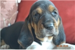 Picture of ACA registered Basset Hound Puppies