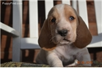 Picture of Registered Basset Hound Baby!